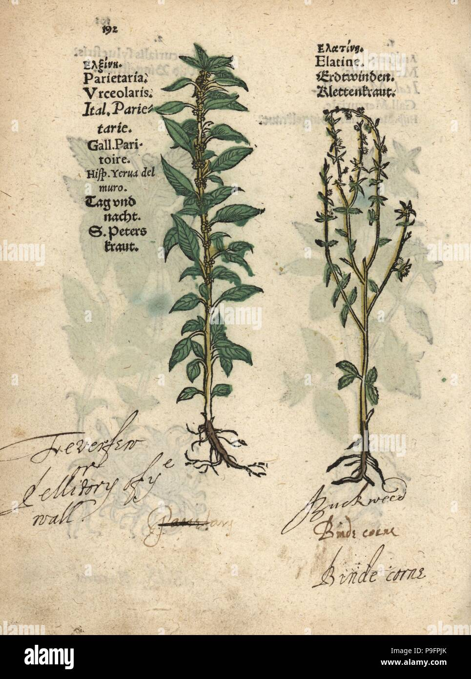 De La Pared Pellitory P Lenes De Parietaria Officinalis Planta