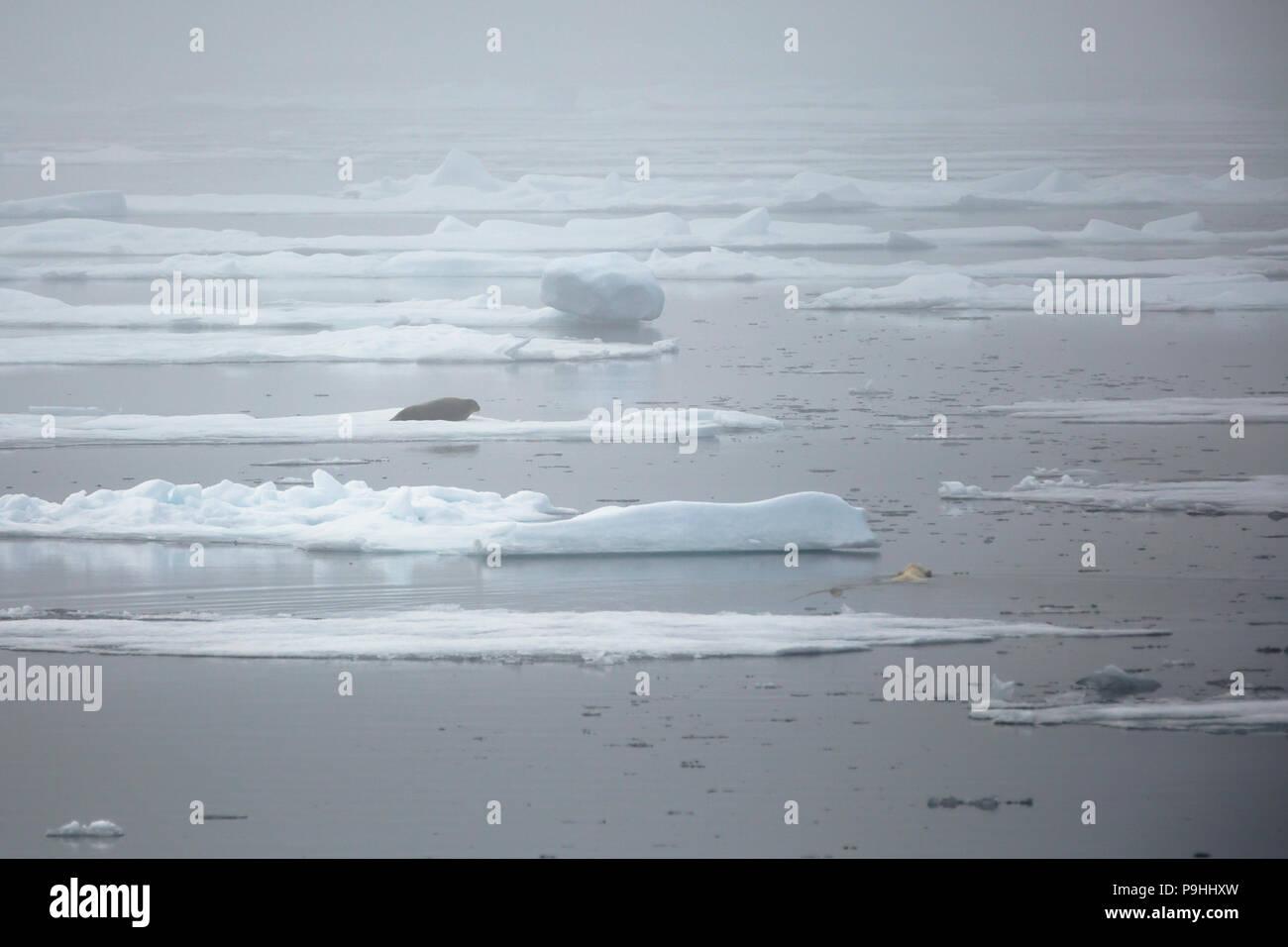 Oso Polar caza activamente un sello barbudo Foto de stock