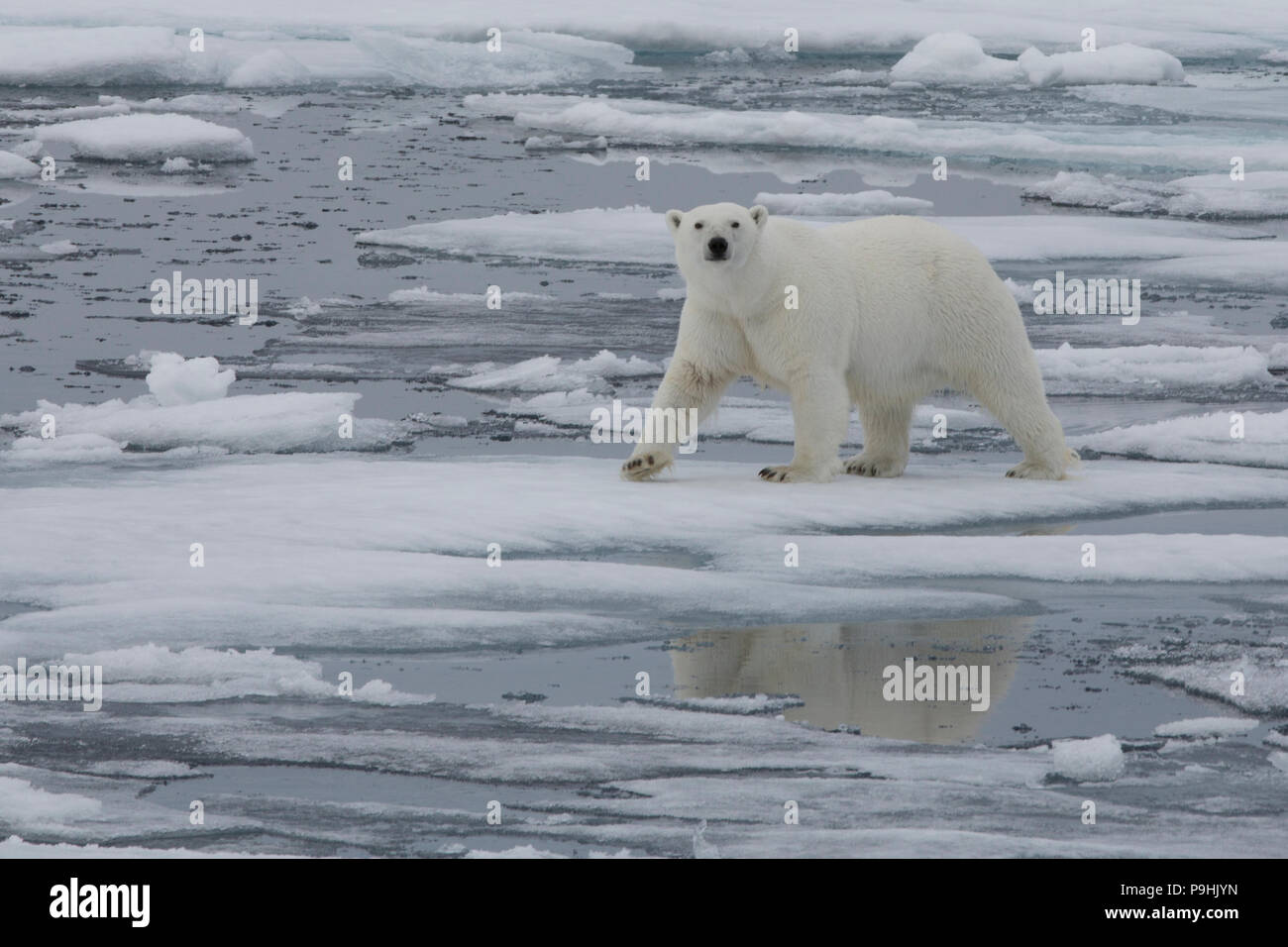 Oso Polar caminar sobre una fina capa de hielo marino cerca de Svalbard Imagen De Stock