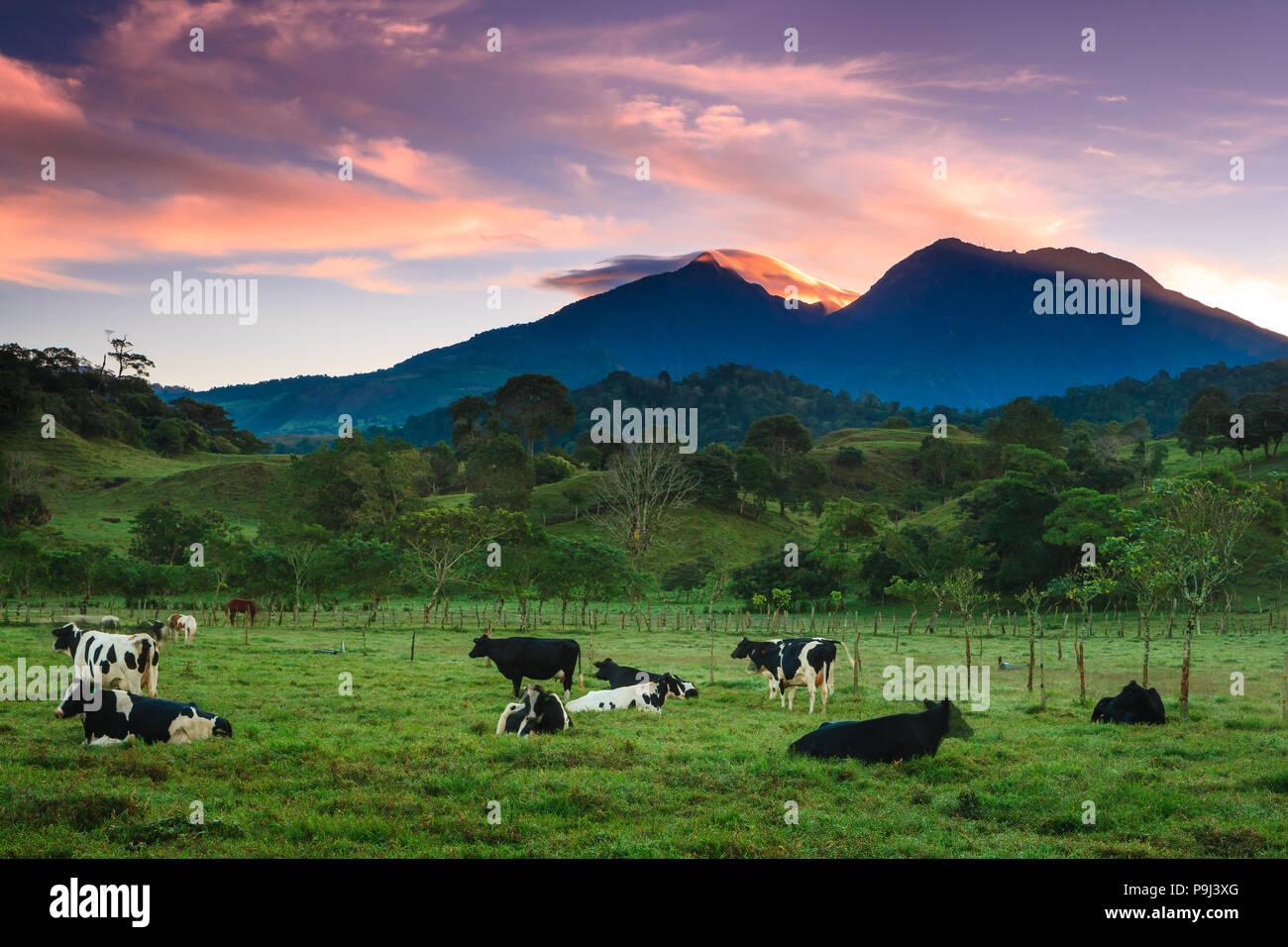El ganado al amanecer, cerca de la ciudad de Volcán, provincia de Chiriquí, República de Panamá. Volcán Barú, a 3475 m, es en el fondo. Foto de stock