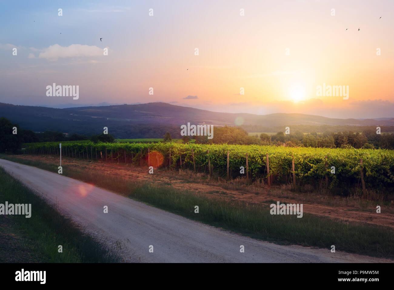 Amanecer en viñedos de uva; verano bodega región mañana paisaje Foto de stock