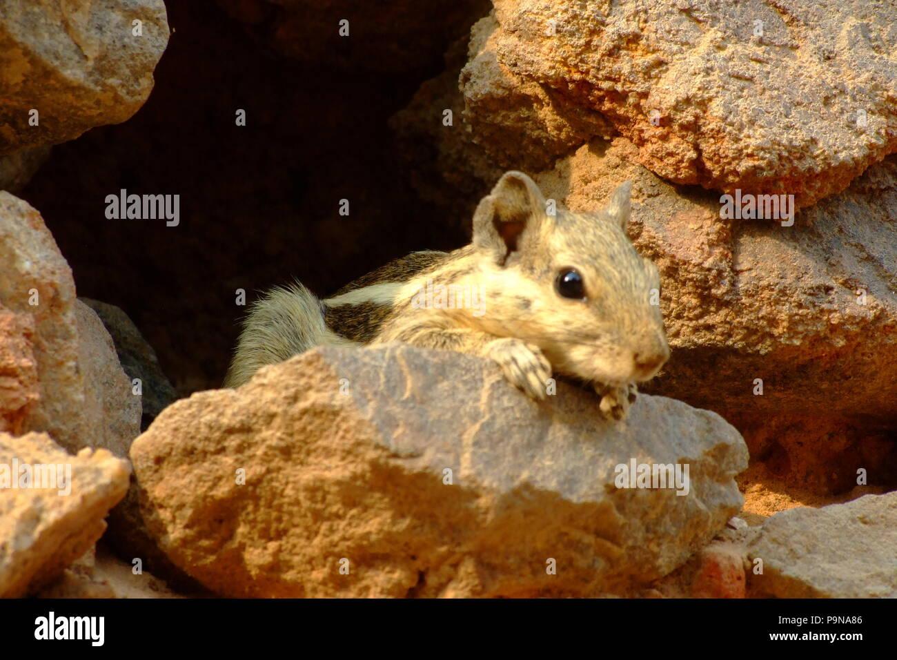 La ardilla en la parte superior de una piedra en un parque en la India Imagen De Stock