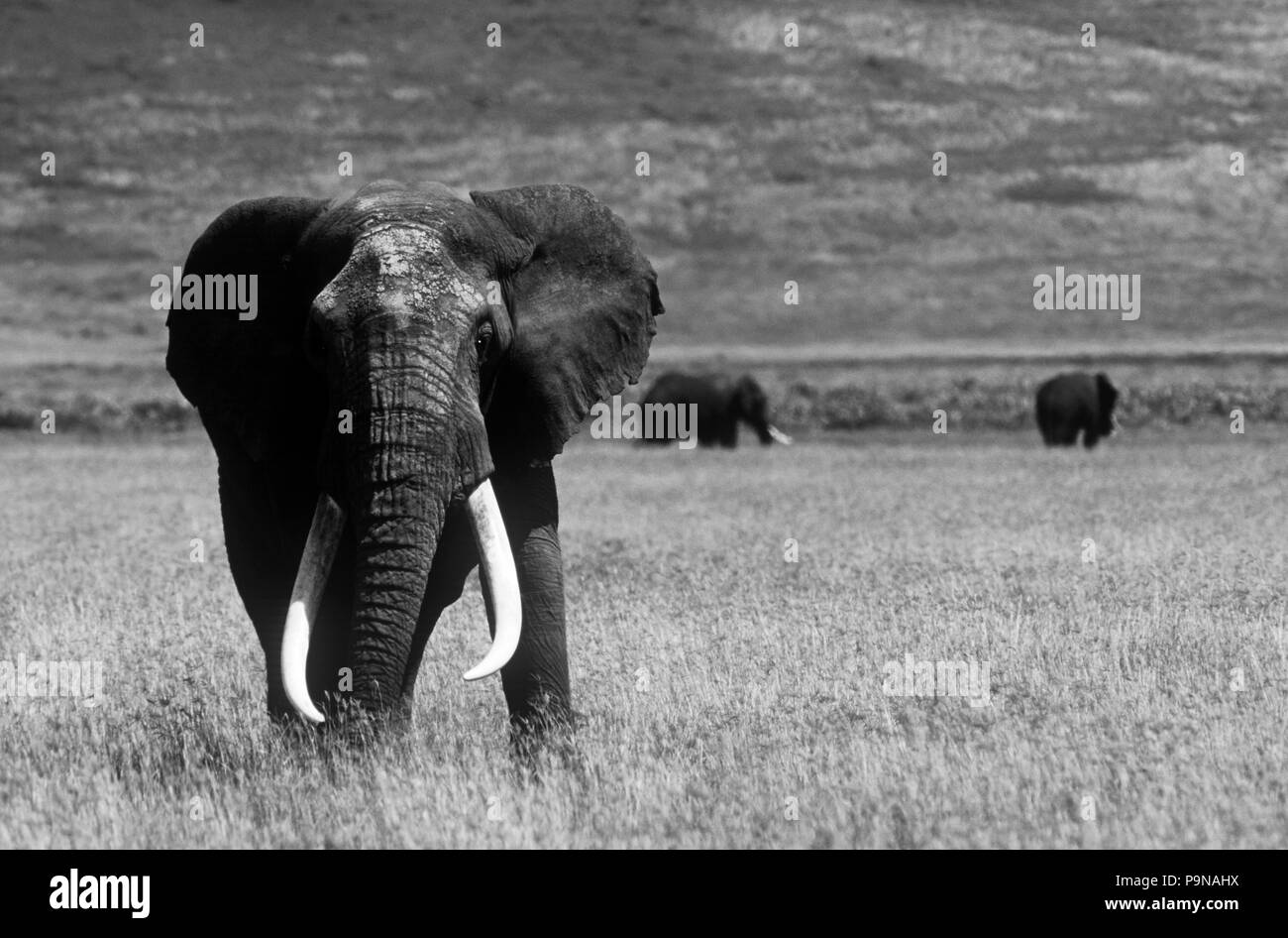 Los colmillos de este magnífico toro elefante (Loxodonta Africana) pesan 250 libras cada uno, del cráter del Ngorongoro. Foto de stock