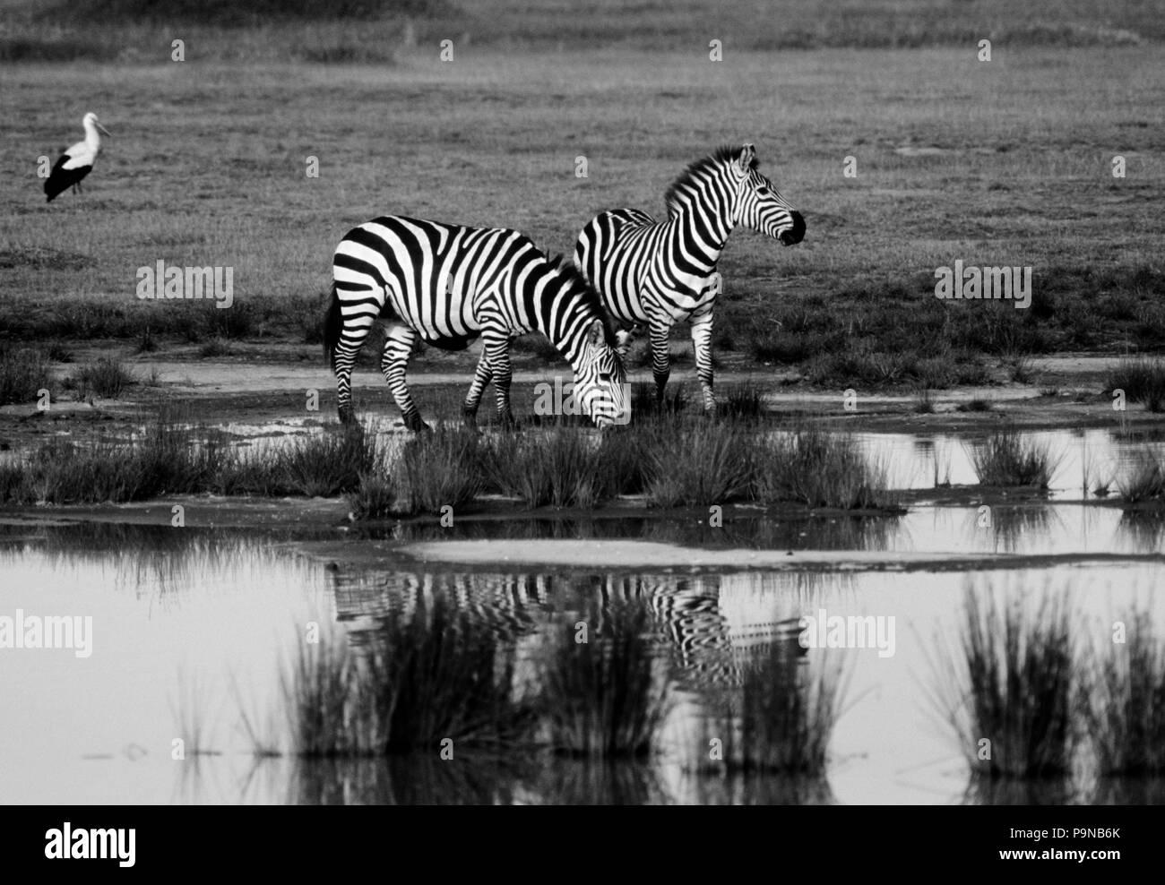 Dos CEBRAS DE BURCHELL (Equus burchelli) está reflejada en un charco de agua de lluvia - Parque Nacional del Serengeti Foto de stock