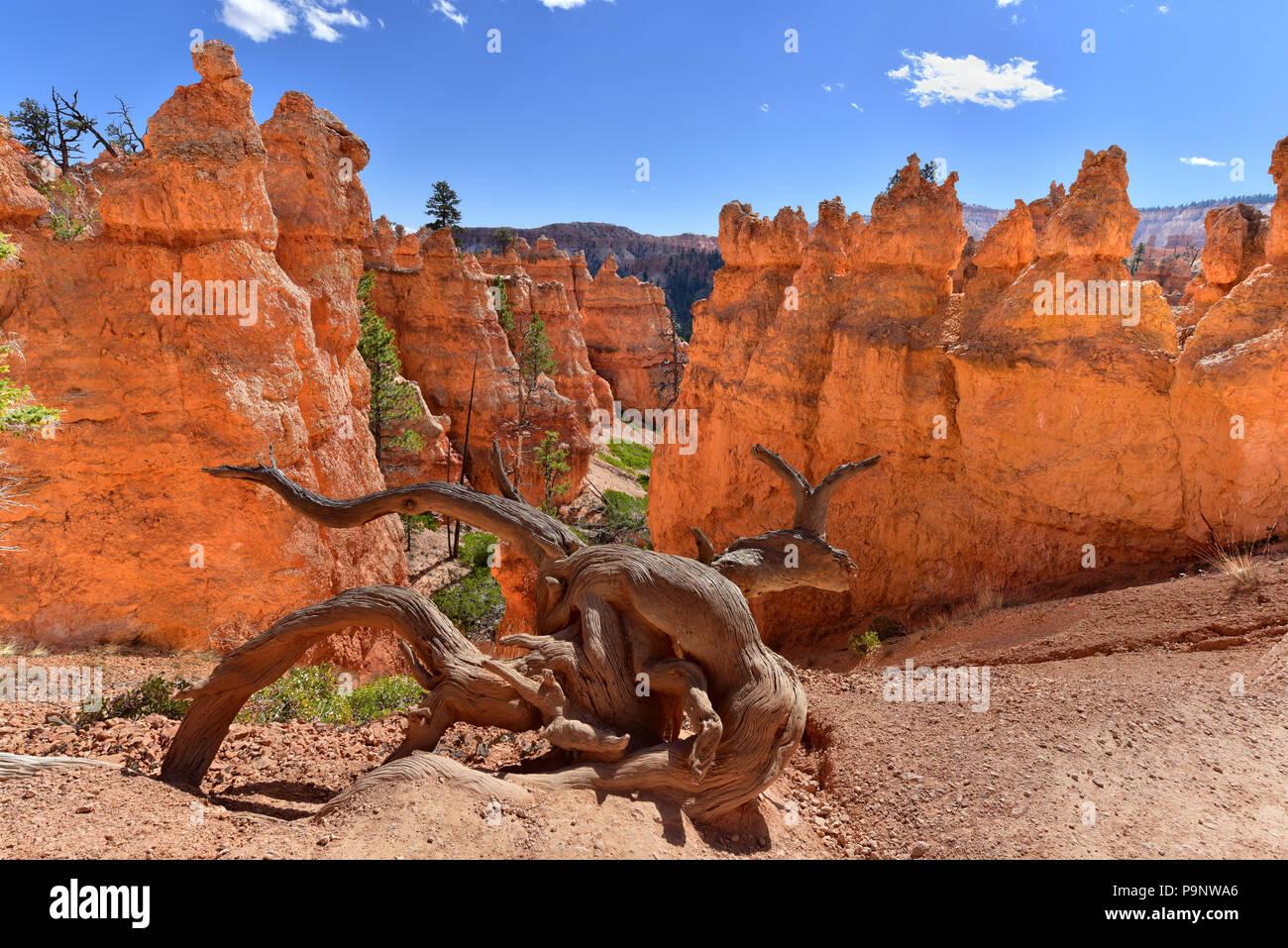Viejo árbol de enebro erosionados snag a lo largo del sendero, en el hoodoo canyon, Bryce Canyon National Park, Utah Foto de stock