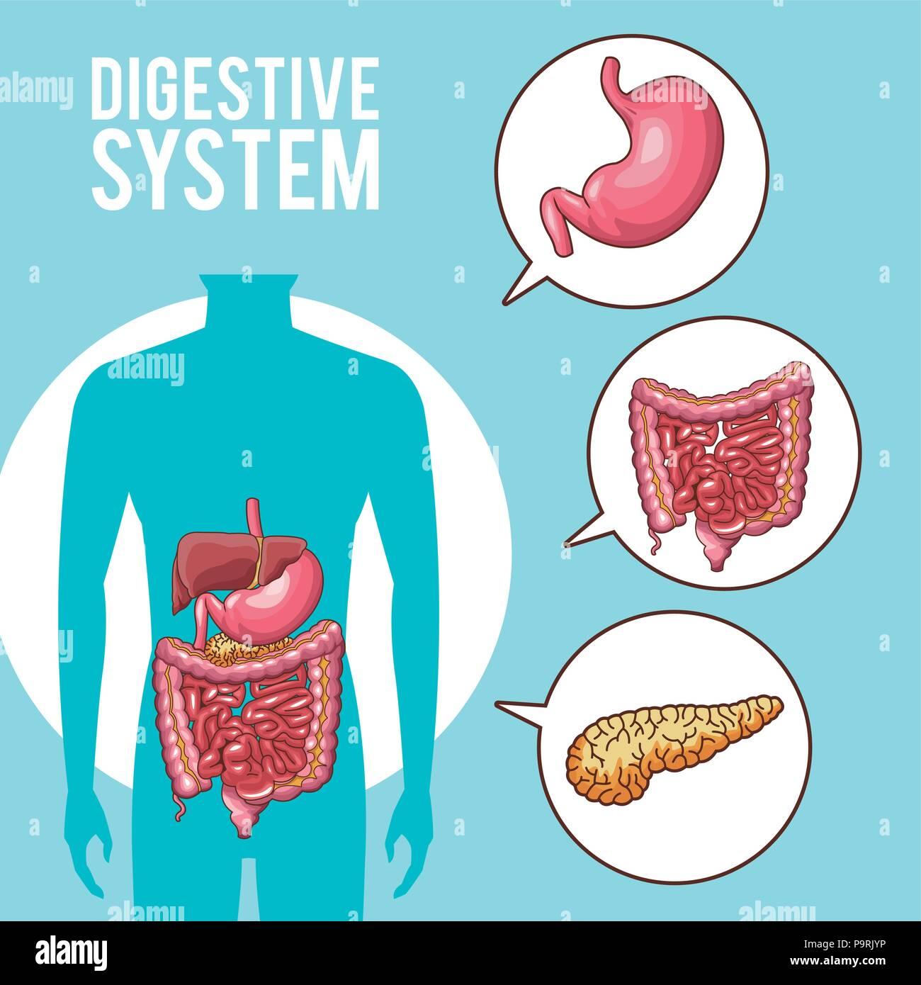 El sistema digestivo Órganos Humanos ilustración vectorial diseño ...