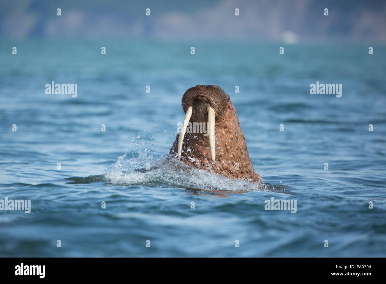 La morsa del Pacífico (Odobenus rosmarus divergens), Kamchatka, Rusia Foto de stock