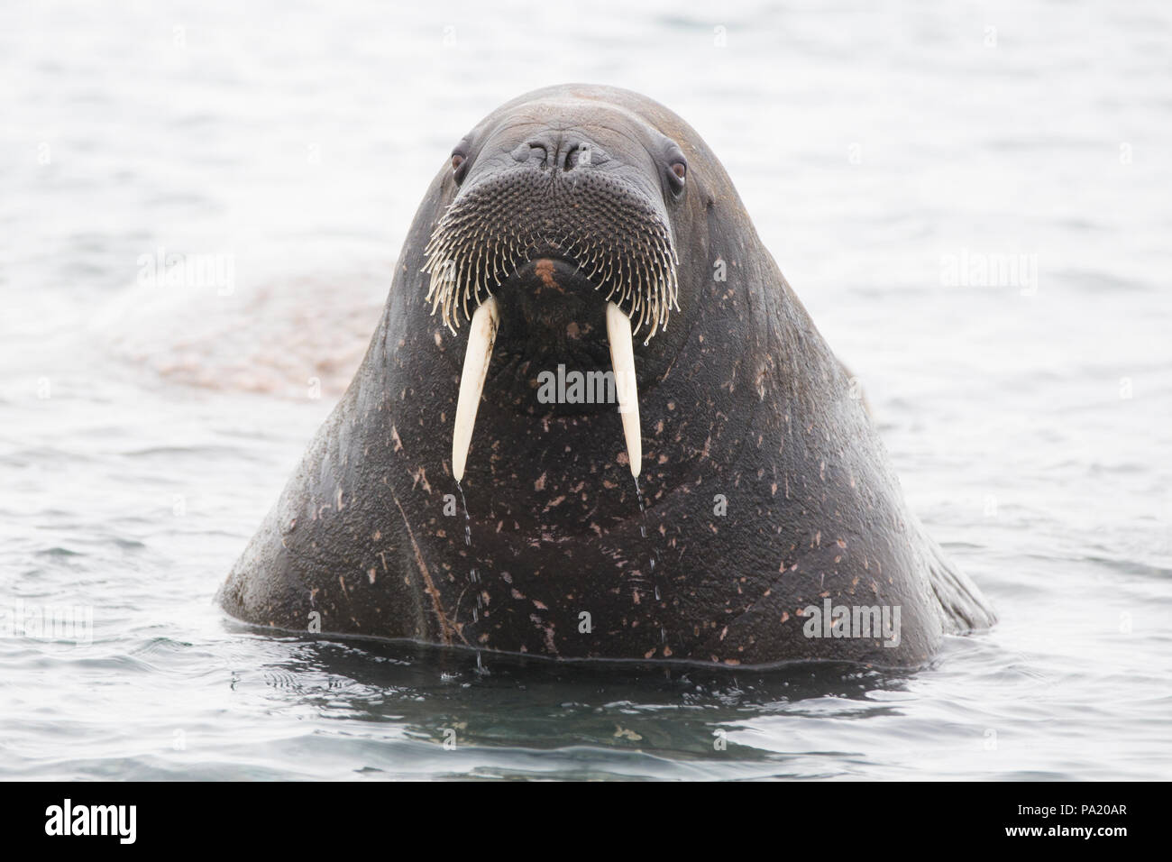 La morsa, Svalbard Imagen De Stock