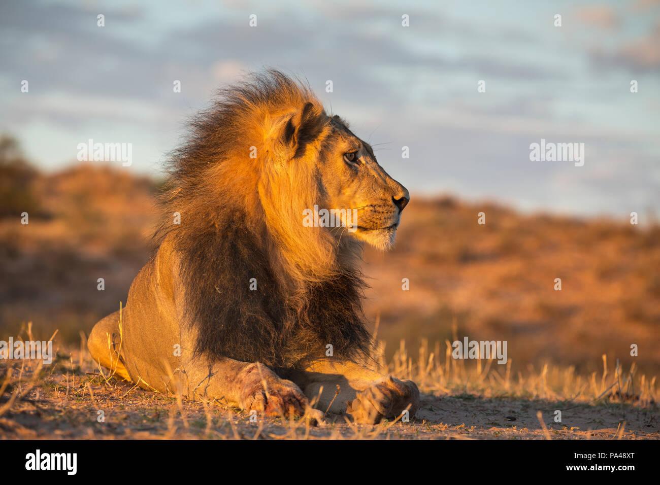 León (Panthera leo) macho, el Parque Transfronterizo Kgalagadi, Sudáfrica Imagen De Stock