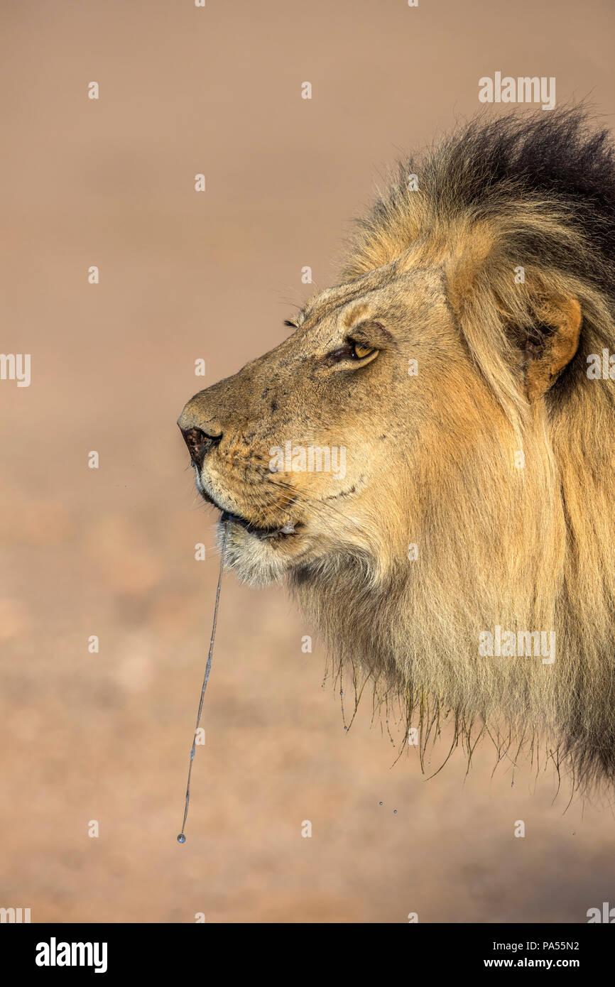 León (Panthera leo) macho goteo, el Parque Transfronterizo Kgalagadi, Sudáfrica Foto de stock