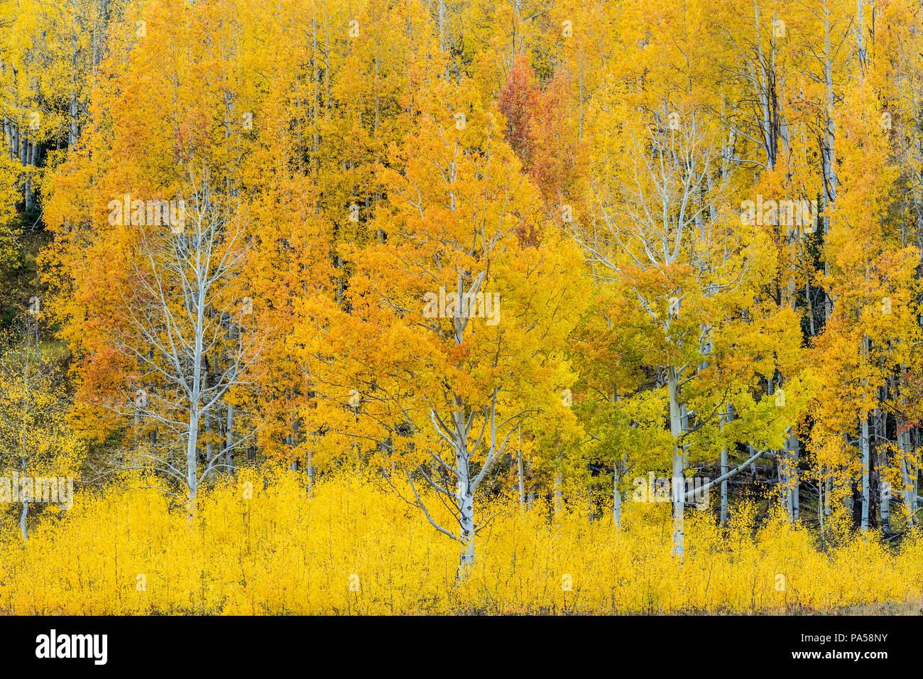 Árboles de Aspen y colores del otoño junto Kebler Pass, en las montañas cerca de West Elk Crested Butte, Colorado. Foto de stock