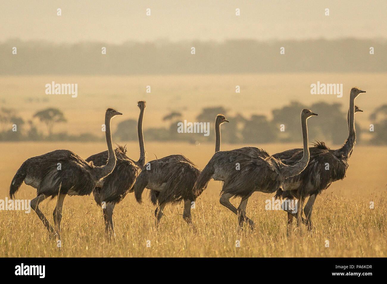 Grupo de 7 Common avestruces (Struthio camelus) caminando en la tarde en el Masai Mara en Kenia Imagen De Stock