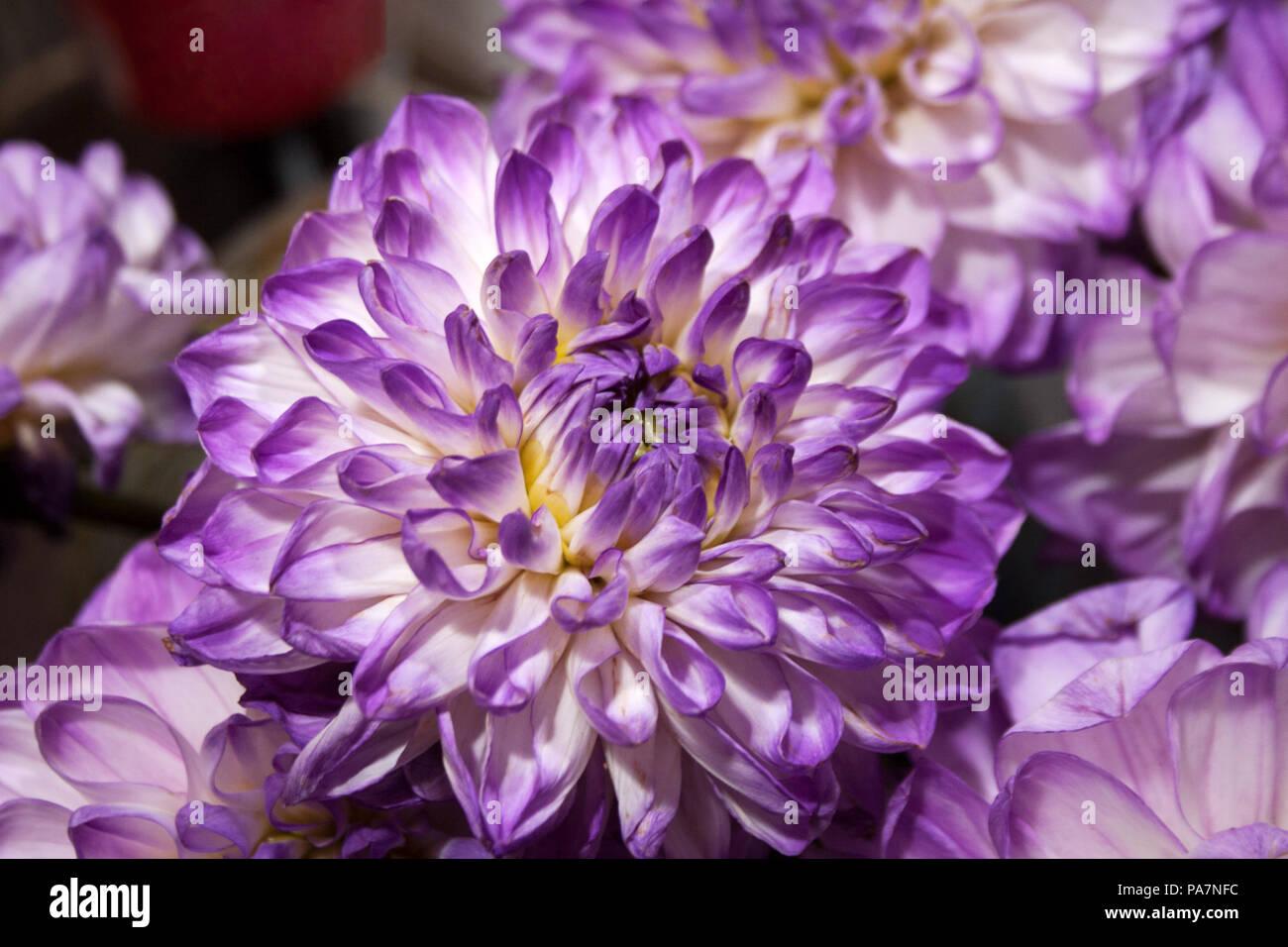 ce1836642b48 Dalia flor con pétalos de color púrpura y blanco cerrar Imagen De Stock