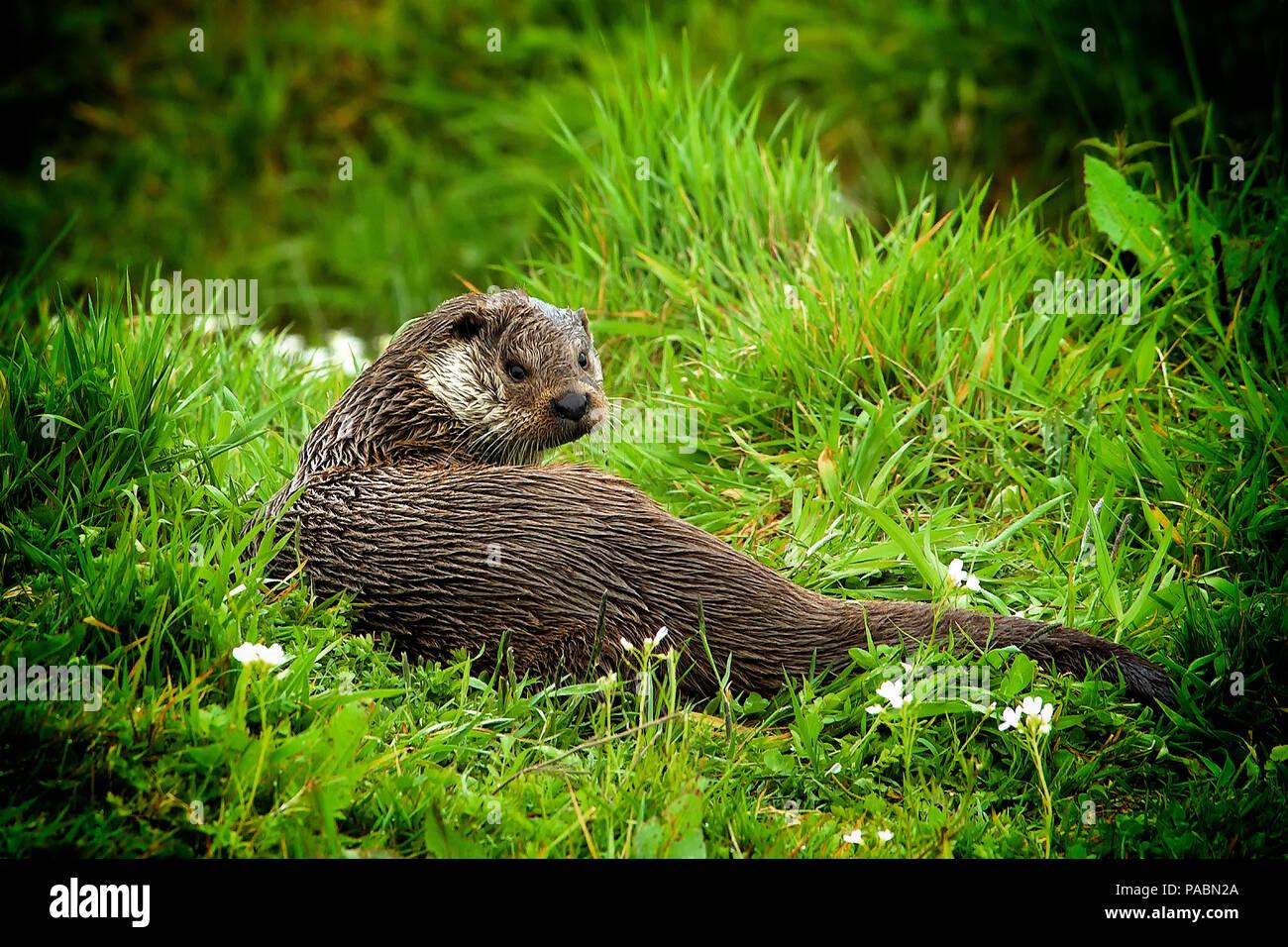 Unión nutria (Lutra lutra) con wet fur descansando en la orilla de un río y mirando hacia la cámara (con viñetas) Foto de stock