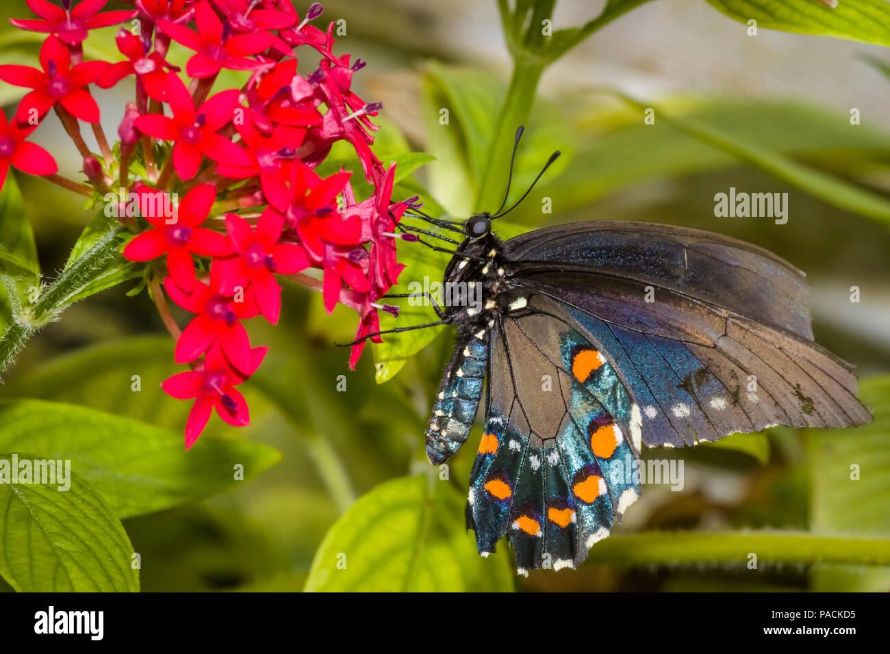 Primer plano de una especie de mariposa oriental también llamada la especie o especie americana en una flor roja Foto de stock