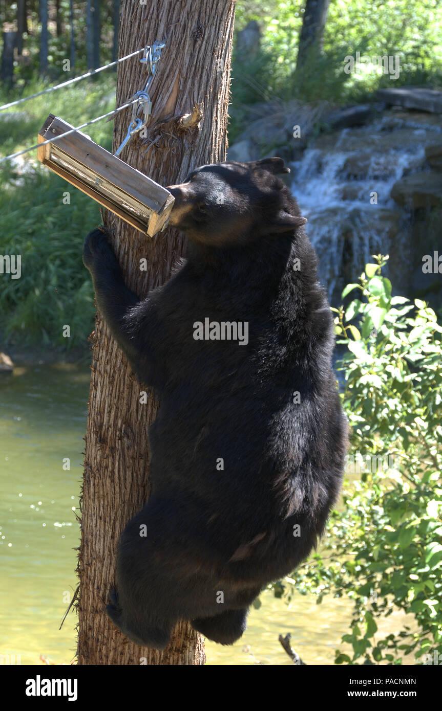 Los osos negros en el centro de North American Bear en Ely, Minnesota, EE.UU. Foto de stock