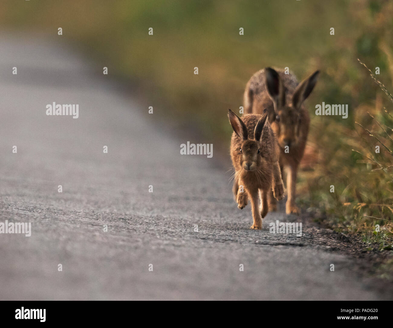 Un leveret da su madre marrón de la liebre (Lepus europaeus) rodeos en un carril del país desiertas, Gloucestershire Imagen De Stock