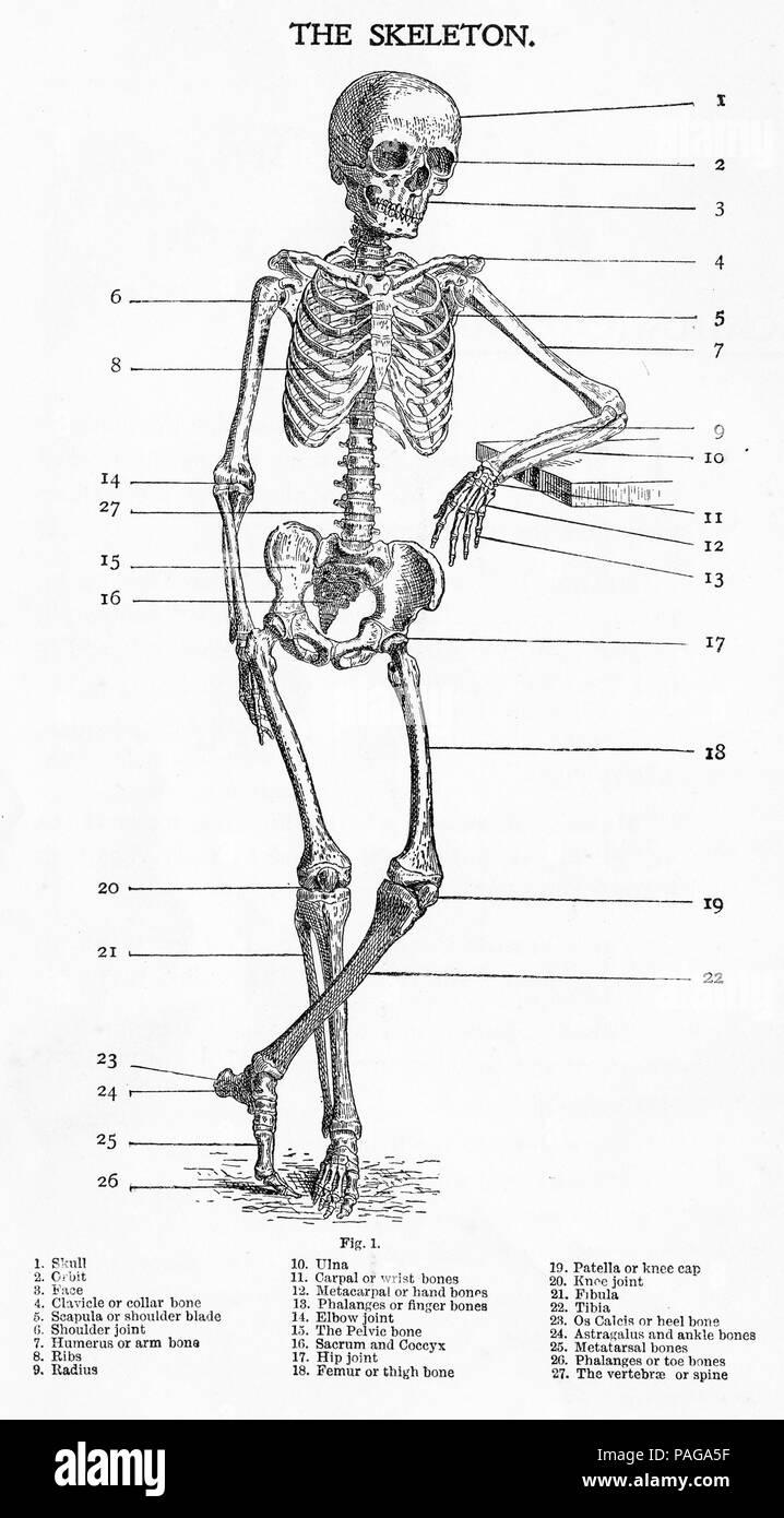 Anatomical Drawings Imágenes De Stock & Anatomical Drawings Fotos De ...