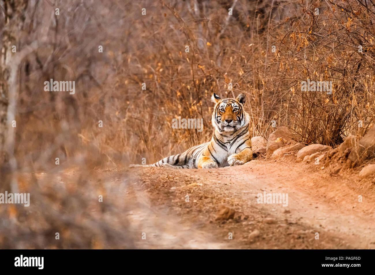 Vida salvaje india: Mujer tigre de Bengala (Panthera tigris) mentir alerta en un camino polvoriento, el Parque nacional de Ranthambore, Rajasthan, India septentrional, la temporada seca Imagen De Stock