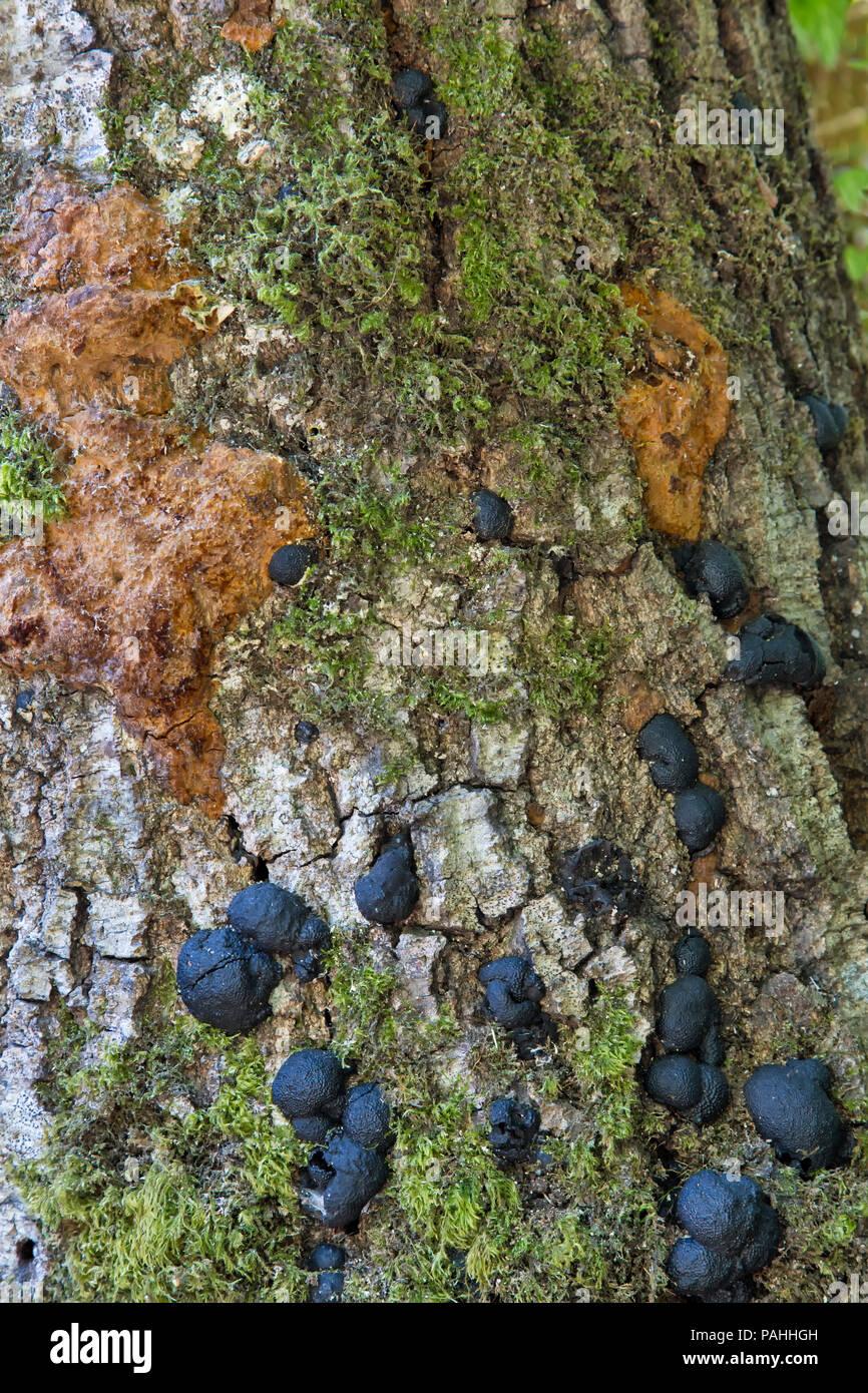 La muerte repentina del roble (SOD) enfermedad (Phytophthora ramorum). Imagen De Stock