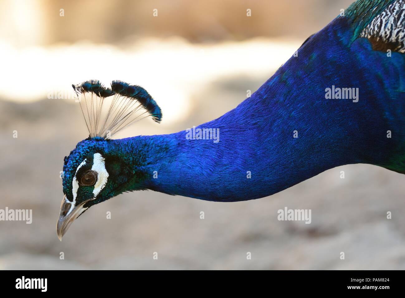 Disparo a la cabeza de un pavo real Imagen De Stock