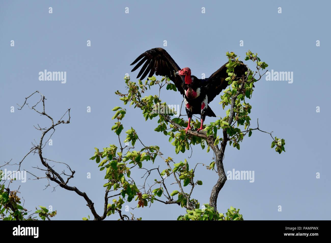 El Buitre De Cabeza Roja También Conocido Como El Zopilote Rey