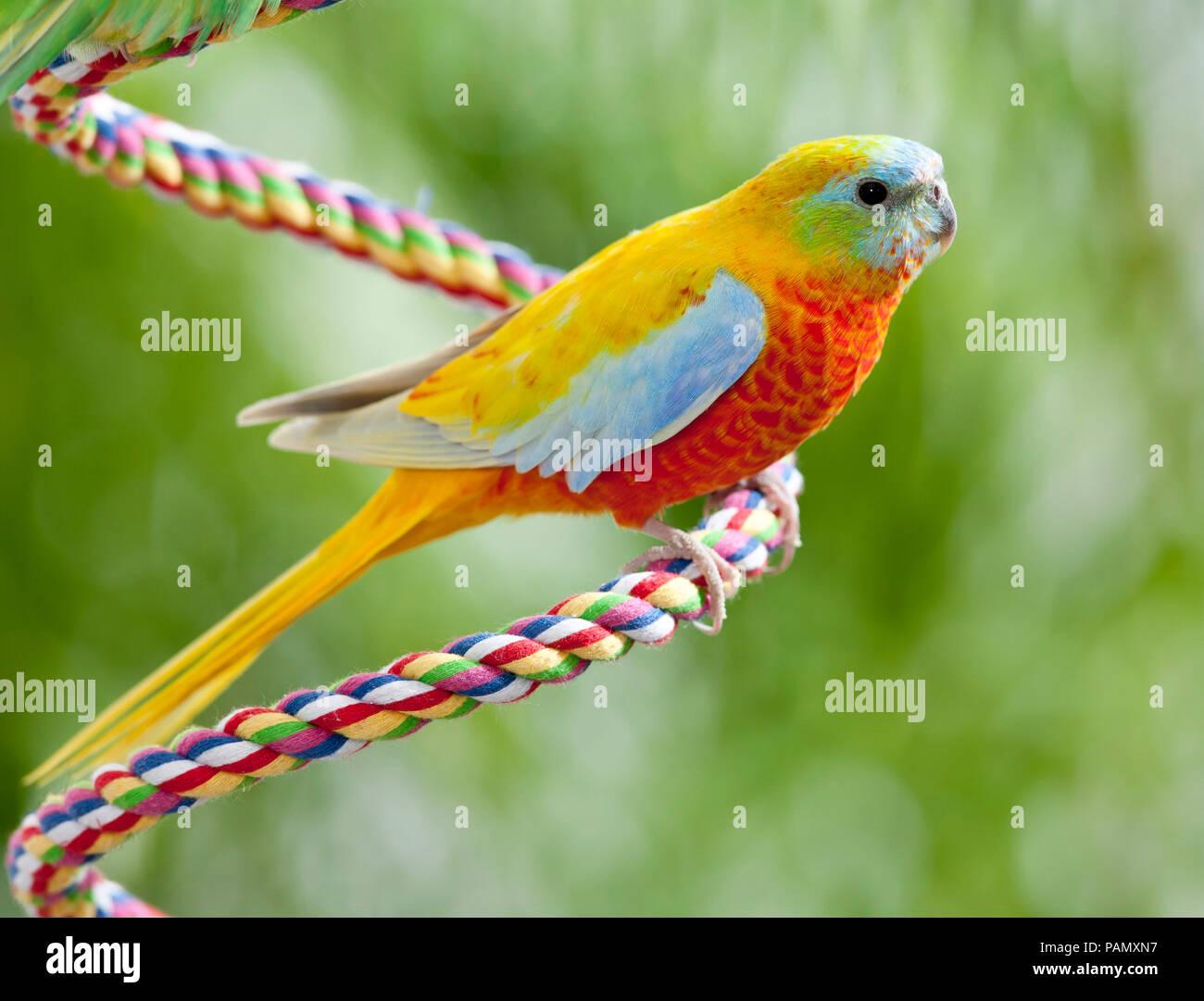 Turquoise Parrot (Neophema pulchella). Pájaro adulto posado sobre una cuerda. Alemania. Imagen De Stock