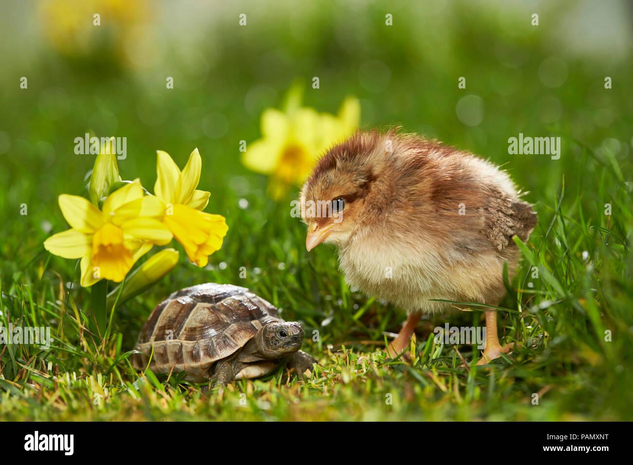 Welsummer pollo. El pollo y el joven Spur-thighed tortuga mediterránea, la tortuga griega (Testudo graeca) en la pradera de floración en primavera. Alemania Foto de stock
