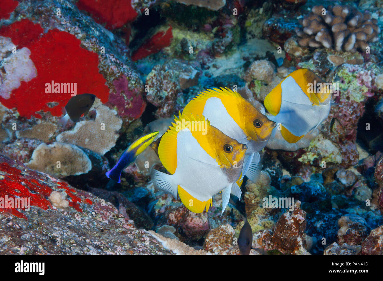 Tres pirámide butterflyfish, Hemitaurichthys polylepis, line up en un limpiador hawaianos endémicos de napoleón, Labroides phthirophagus. Hawaii. Foto de stock