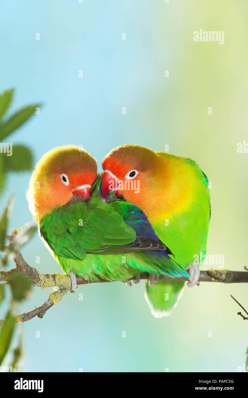 Fischers Lovebird (Agapornis fischeri). Tierna pareja encaramado sobre una ramita. Alemania Imagen De Stock