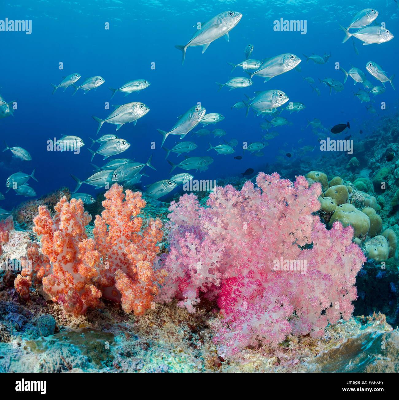 Una escena con alcyonarian arrecife coral blando y escolaridad patudo jacks, Caranx sexfasciatus, frente a la isla de Yap, Micronesia. Foto de stock