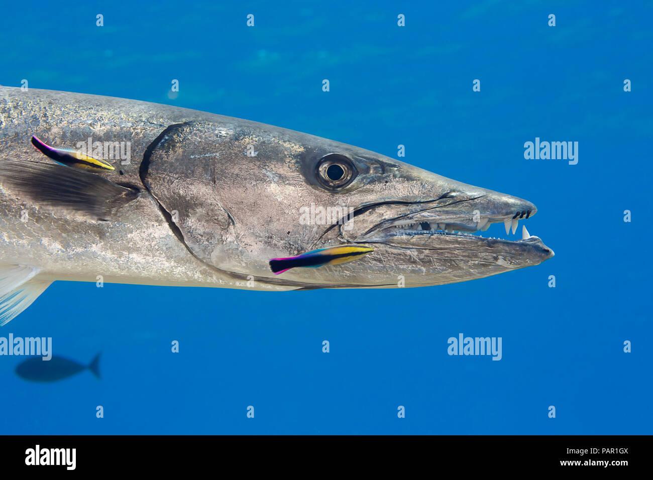 Gran barracuda, Sphyraena barracuda, puede alcanzar tanto como seis pies de largo. Este individuo está siendo limpiado por endémica limpiador hawaiano de napoleón, La Foto de stock