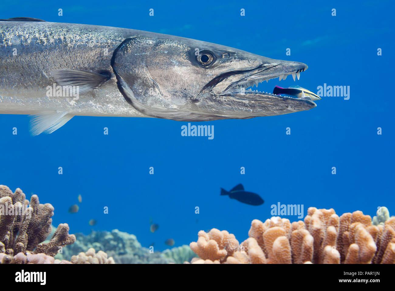 Gran barracuda, Sphyraena barracuda, puede alcanzar tanto como seis pies de largo. Este individuo está siendo limpiado por un limpiador hawaianos endémicos de Napoleón, Foto de stock