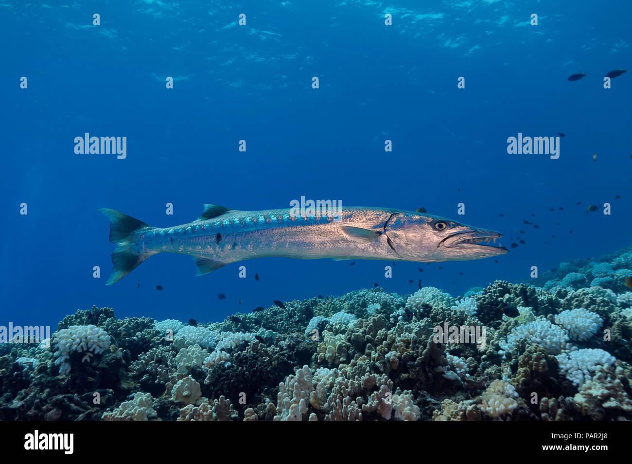 Gran barracuda, Sphyraena barracuda, puede alcanzar tanto como seis pies de largo. Hawaii. Foto de stock