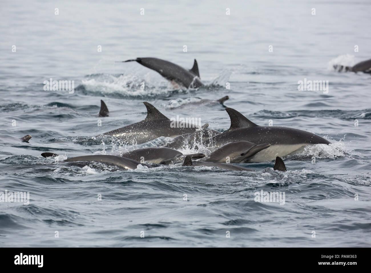 Larga picuda, delfín común Delphinus capensis, Isla San Marcos, Baja California Sur, México. Foto de stock