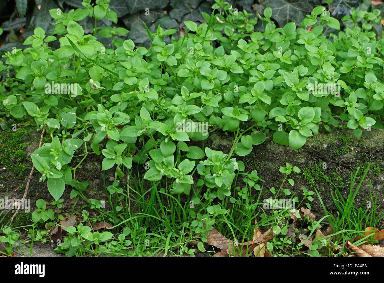 (Vogelmiere Stellaria media) (chickweed) (Morgeline) Foto de stock