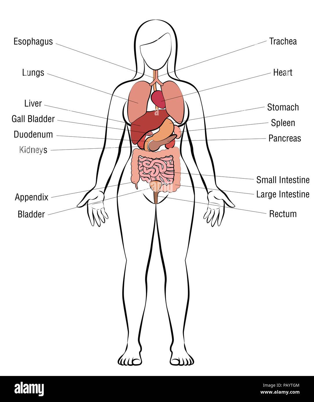 Los órganos internos del cuerpo femenino - esquema anatomía humana ...