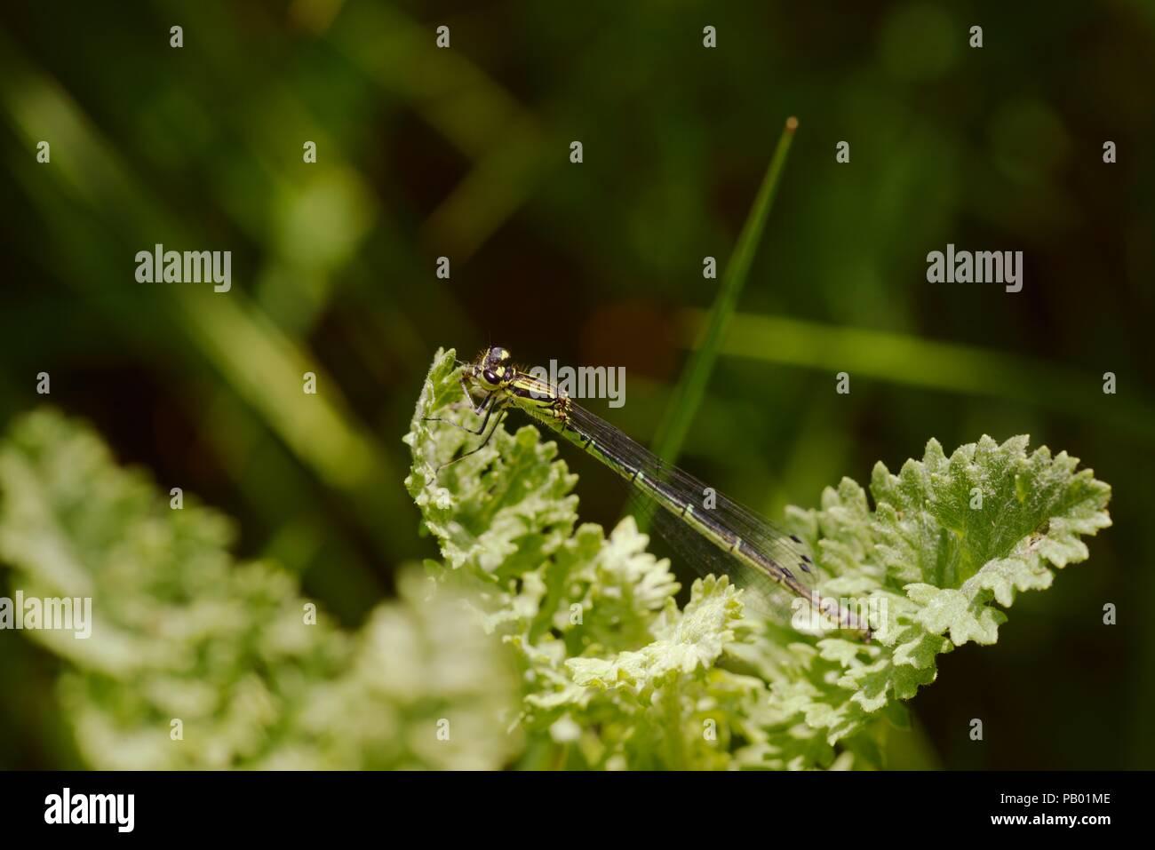 Azure, Damselfly hembra Coenagrion puella, variación de color verde, Gales, Reino Unido Imagen De Stock