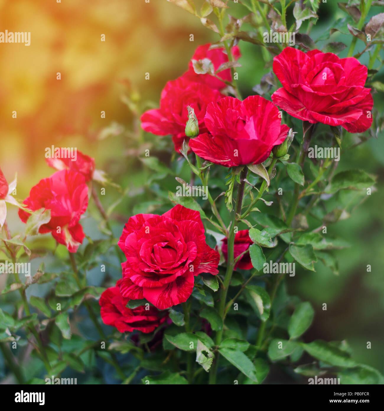 Hermosas Rosas Rojas En El Jardin La Naturaleza Papel Tapiz Flores