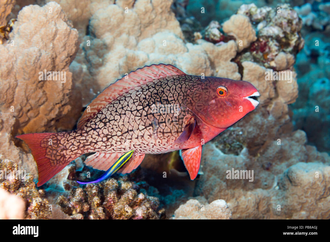 La fase inicial de un pez loro redlip Scarus rubroviolaceus. Este individuo está siendo limpiado por un limpiador hawaianos endémicos de napoleón, Labroides pht Foto de stock