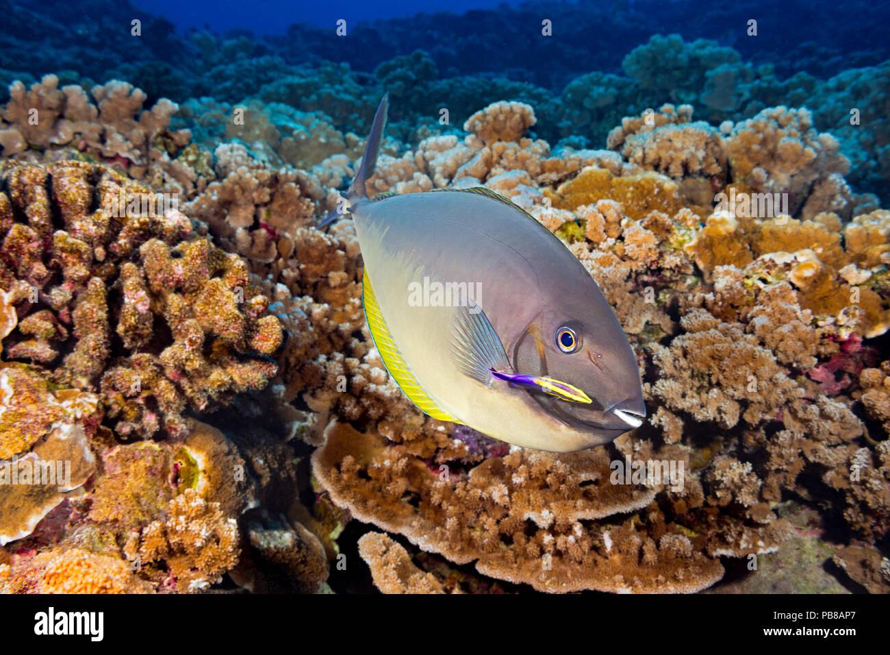 Estos elegantes, unicornfish hexacanthus Naso, han hecho una parada en una estación de limpieza operada por un limpiador hawaianos endémicos de napoleón, Labroides phthiropha Foto de stock