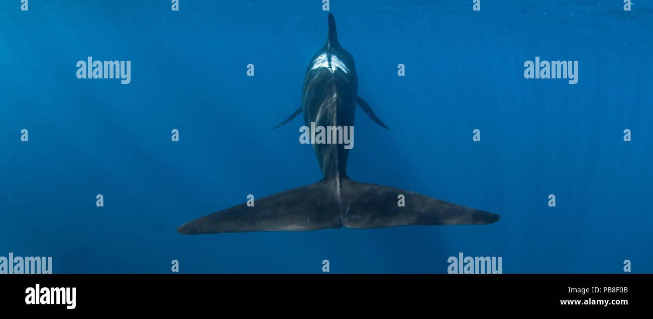 Calderones ballenas piloto (Globicephala macrorhynchus) Vista posterior mostrando fluke, Punta del Cabo, Sudáfrica, en marzo. Imagen De Stock