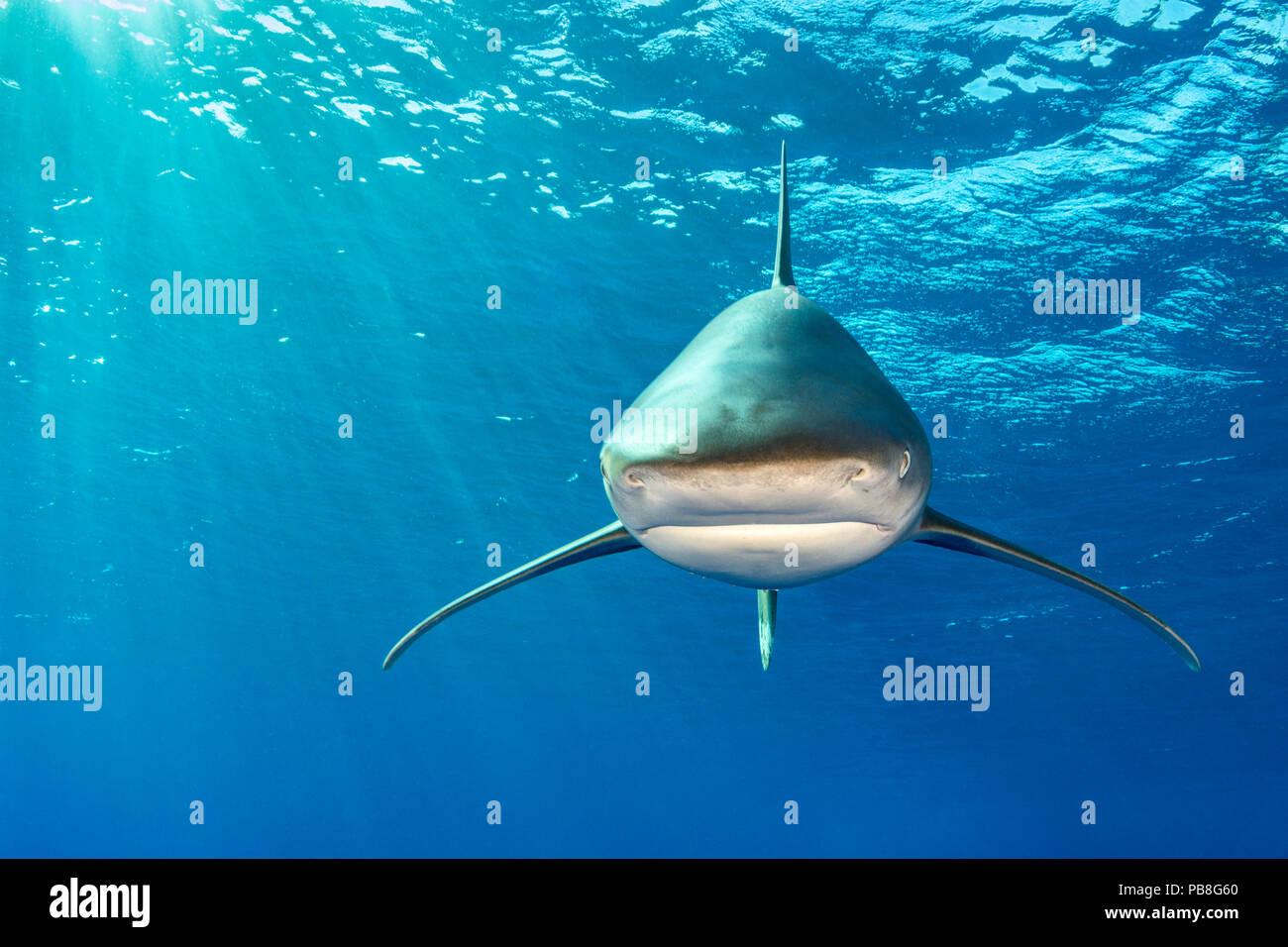 Whitetip (Carcharhinus longimanus) cabeza de debajo de la superficie. Isla rocosa, Egipto. Mar rojo Imagen De Stock