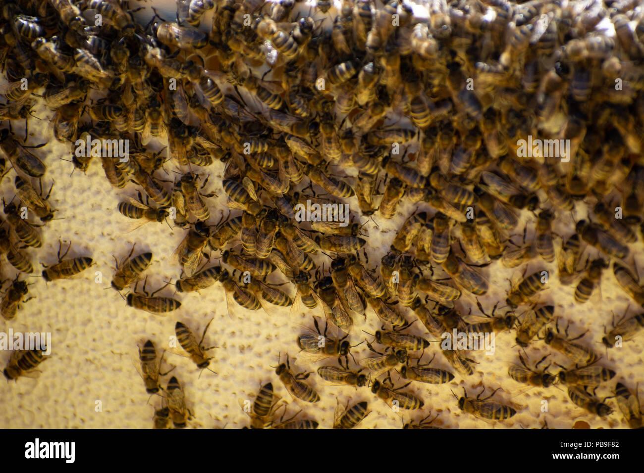 Fotogramas de un enjambre de abejas. Recolección de miel apicultor. El apicultor inspección de colmenas de abejas Imagen De Stock