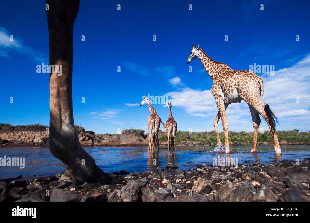 Maasai jirafa (Giraffa camelopardalis tippelskirchi) manada cruzar el río Mara, Reserva Nacional Maasai Mara, en Kenya. Tomadas con la cámara de gran angular a distancia. Imagen De Stock