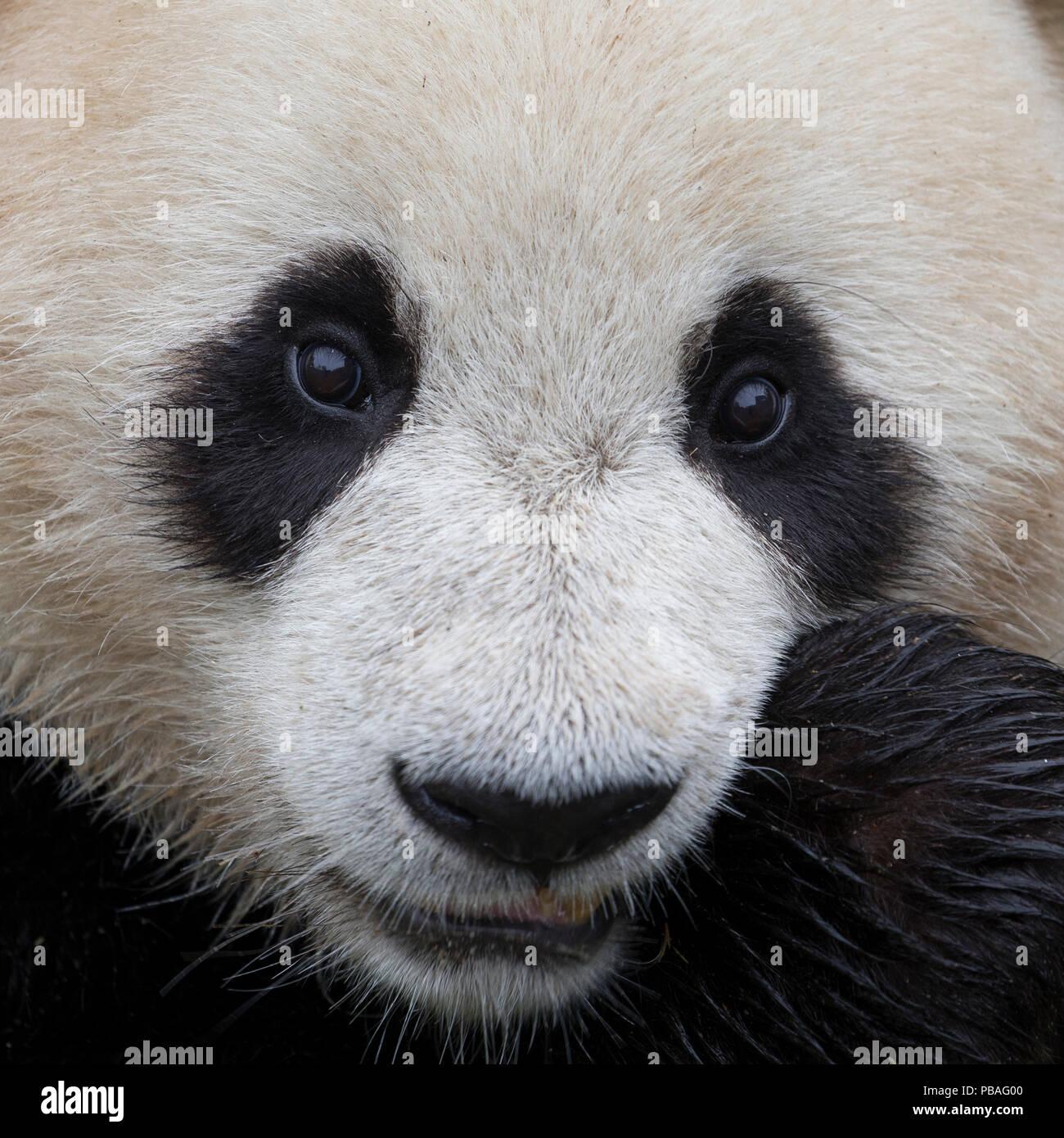 El panda gigante (Ailuropoda melanoleuca) cara cerrar cautivo, China Imagen De Stock
