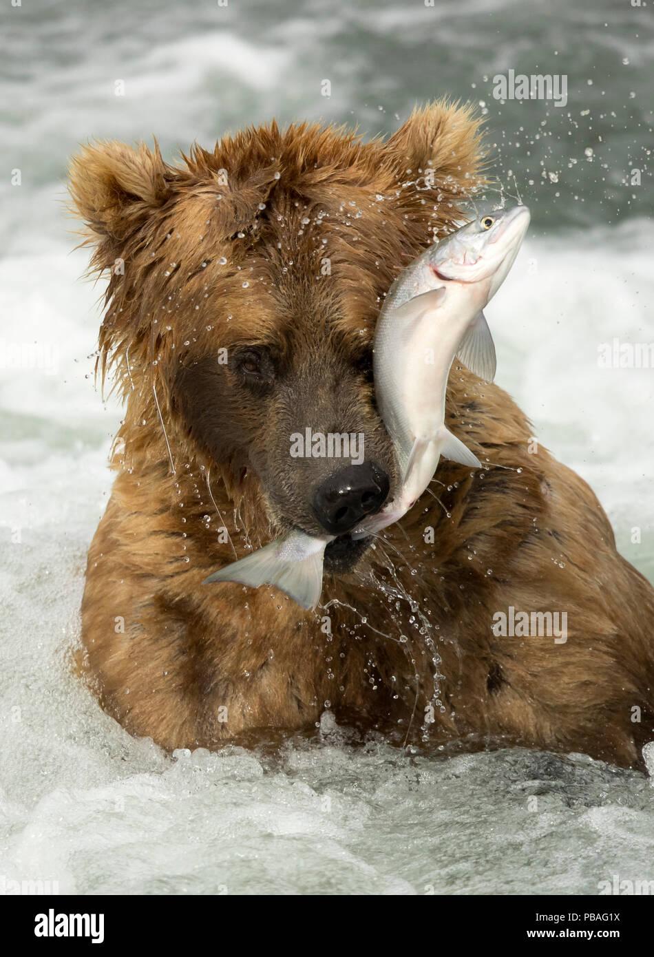 Oso grizzly (Ursus arctos) Coger un pez, Brooks cae en el Parque Nacional de Katmai, Alaska, EE.UU. Julio Imagen De Stock