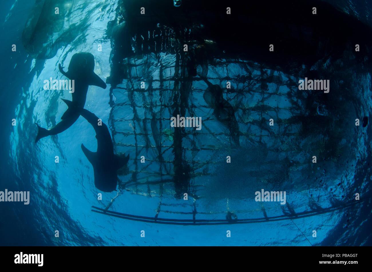 El tiburón ballena (Rhincodon typus) alimentándose en Bagan (flotante) Plataforma de pesca Bahía Cenderawasih, Papua Occidental, Indonesia. Los pescadores de bagan ver tiburones ballena como buena suerte y a menudo alimentarlos con carnada. Esto se está desarrollando ahora en un centro de atracción turística Imagen De Stock