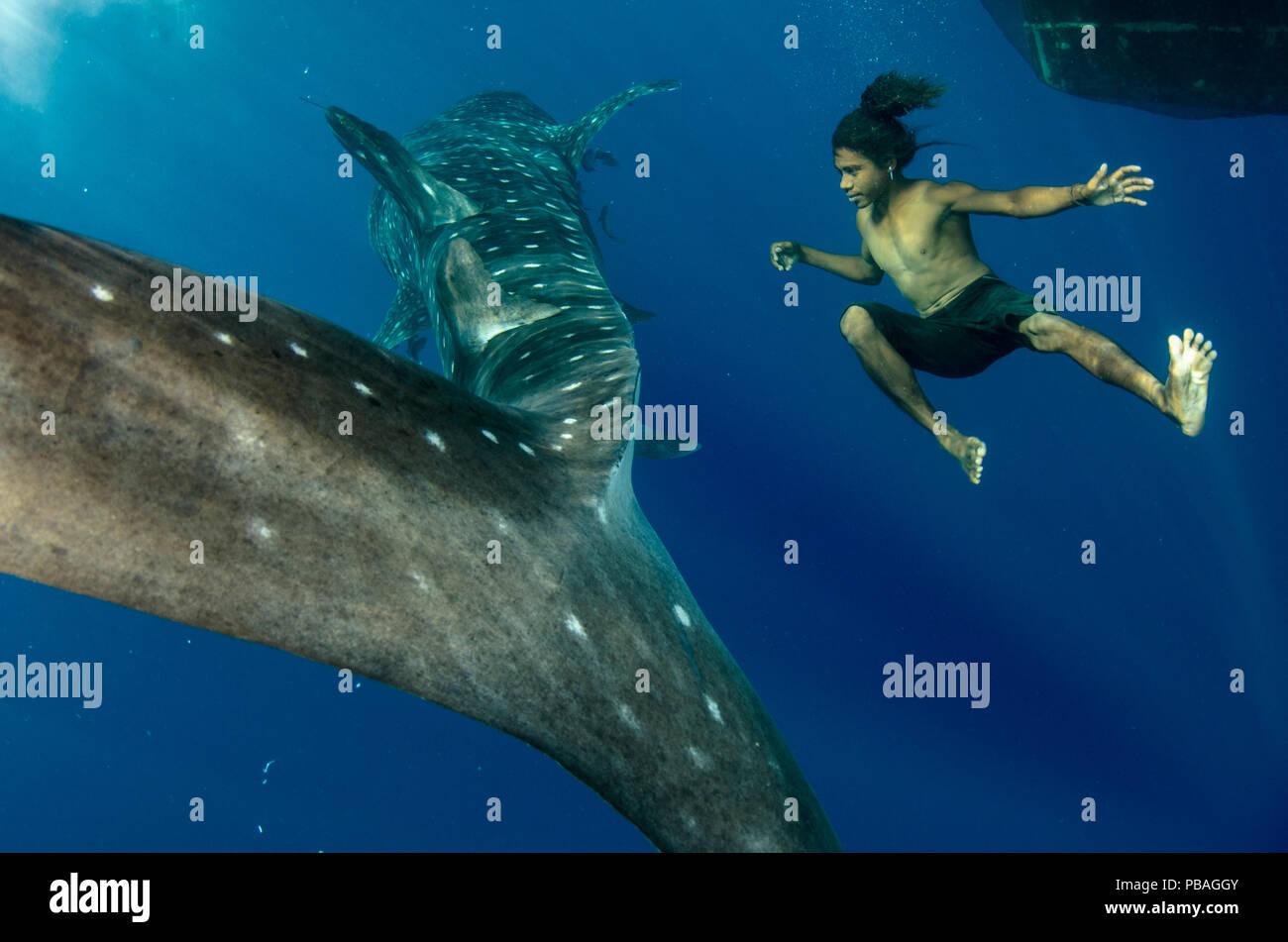 Tiburón ballena (Rhincodon typus) y pescadores locales, la bahía de Cenderawasih apneístas, Papua Occidental, Indonesia. Ganador del premio de la cartera de la naturaleza y el hombre en la Terre Sauvage Imágenes de naturaleza premios de competición de 2015. Imagen De Stock
