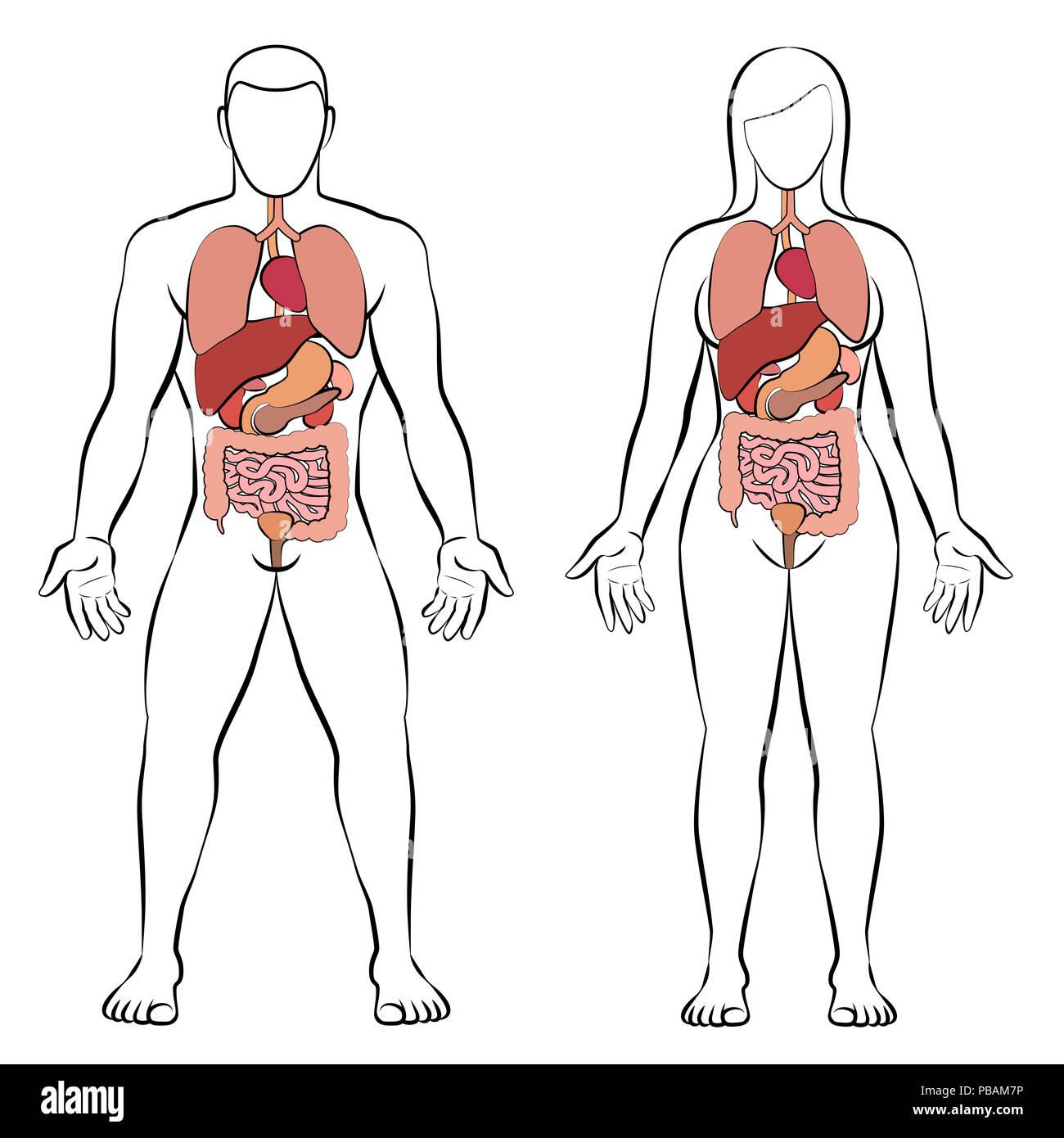 Aparato digestivo con los órganos internos, el cuerpo masculino y ...
